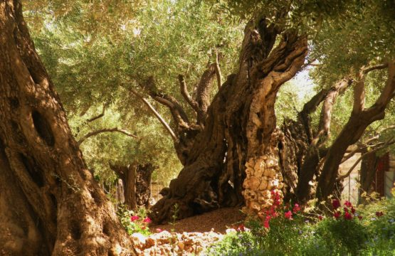 Gethsemane`s Ancient Trees